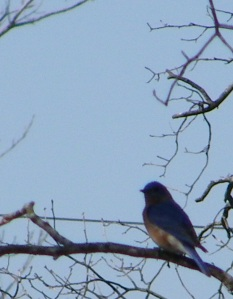 The bluebirds are arriving